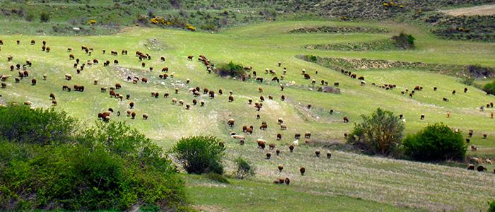 Ovejas pastando en los campos de Valtajeros